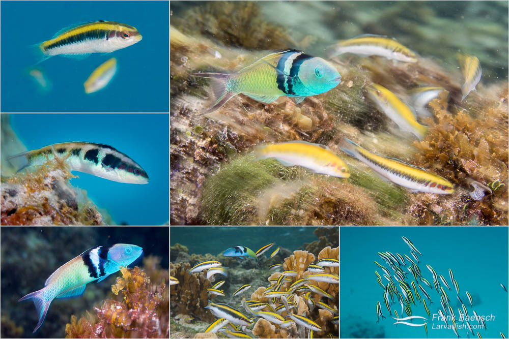 Bluehead wrasse life stages from juvenile to adult , harem spawning, group spawning and feeding