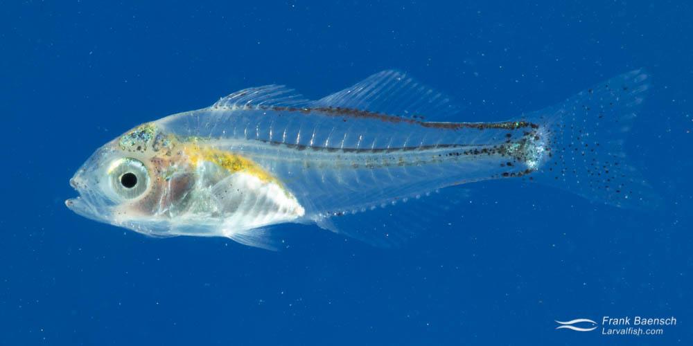 Hawaiian flagtail (Kuhlia xenura) larva raised in the laboratory for the Hawaii Larval Fish Project.