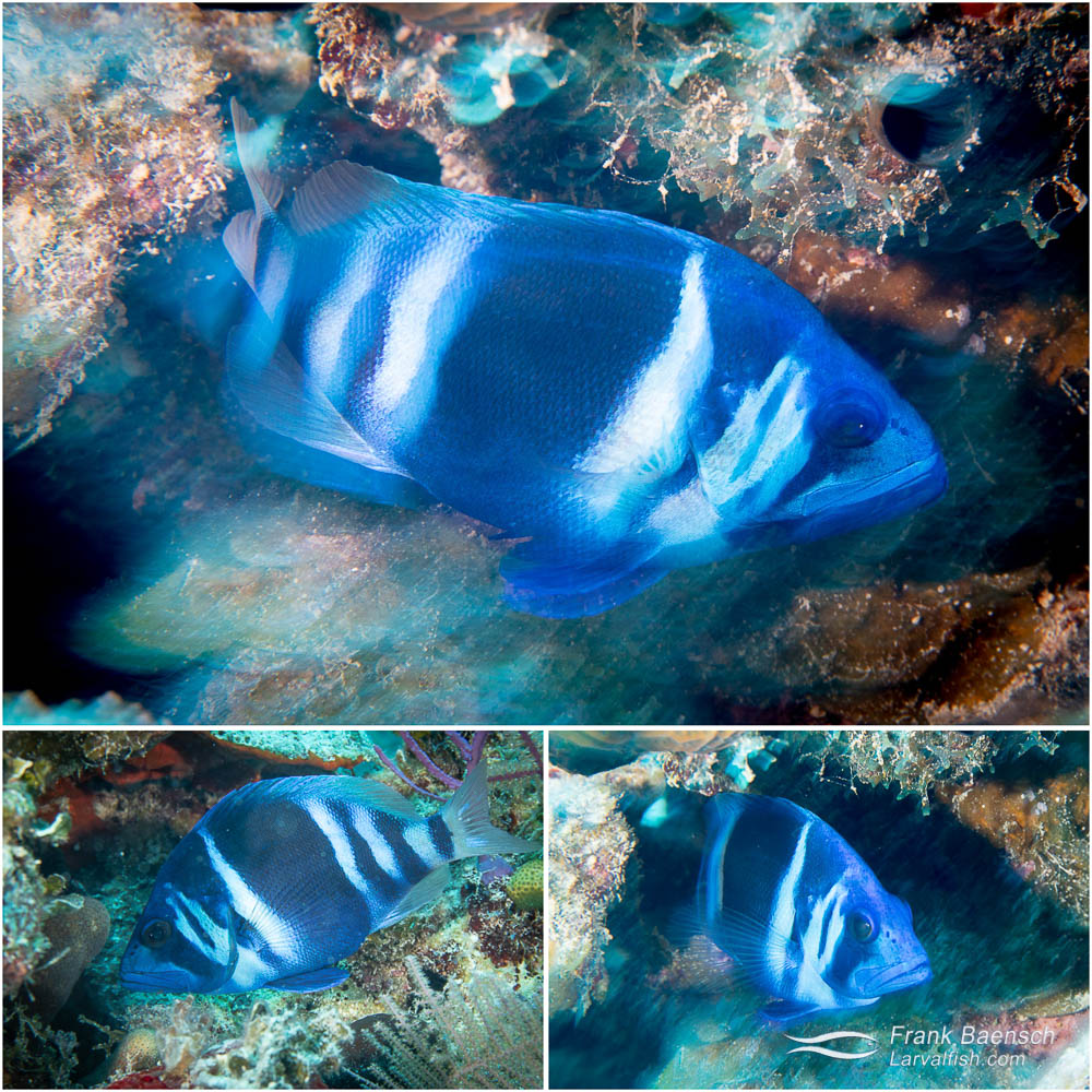 Blue hamlet (Hypoplectrus gemma) on a reef off Nassau, Bahamas.