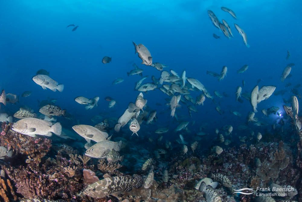 Camouflage groupers (Epinephelus polyphekadion) reproduce in Fakarava South Pass (Tetamanu Pass), French Polynesia. The fish spawn in outgoing current during the early morning on the full moon.
