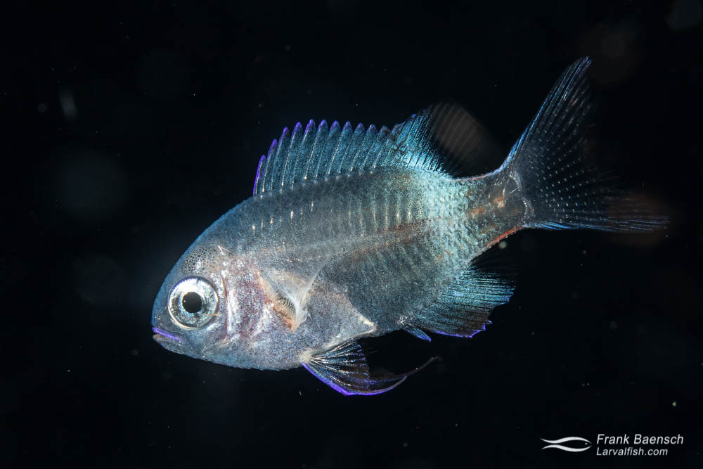 Larval damselfish on a blackwater dive in the Solomon Islands.