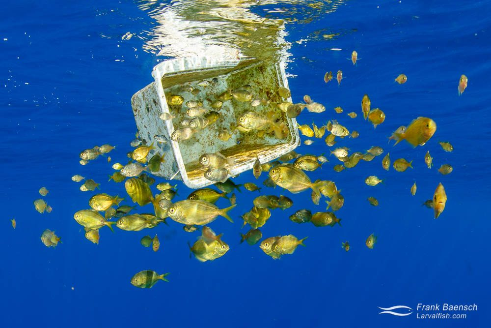 Freckled driftfish (Psenes cyanophrys) seek shelter around a plastic box floating in the open ocean