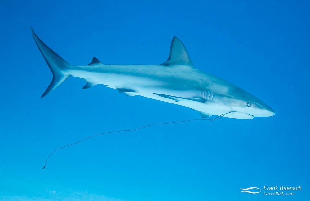 This sight is becoming all too common: A grey reef shark (Carcharhinus amblyrhynchos) with a hook and long leader dangling from its mouth. Bahamas.