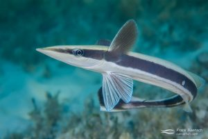 Juvenile remora turning in shallow water
