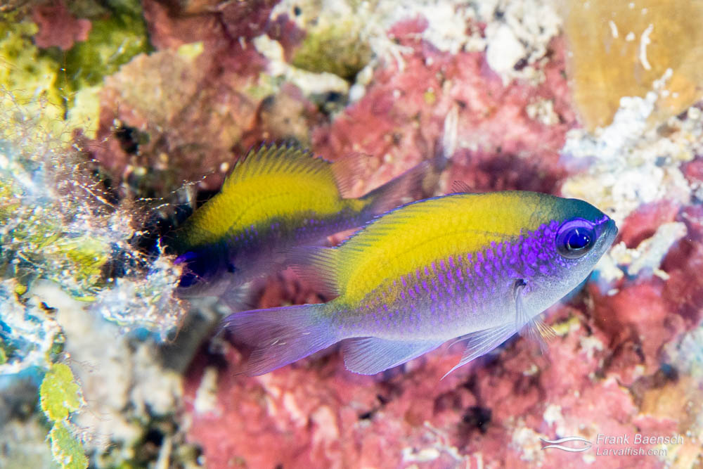 Brightly colored juvenile sunshinefish (Chromis insolata) grow into drab, relatively large adults. Don't buy this fish for your aquarium. Bahamas.