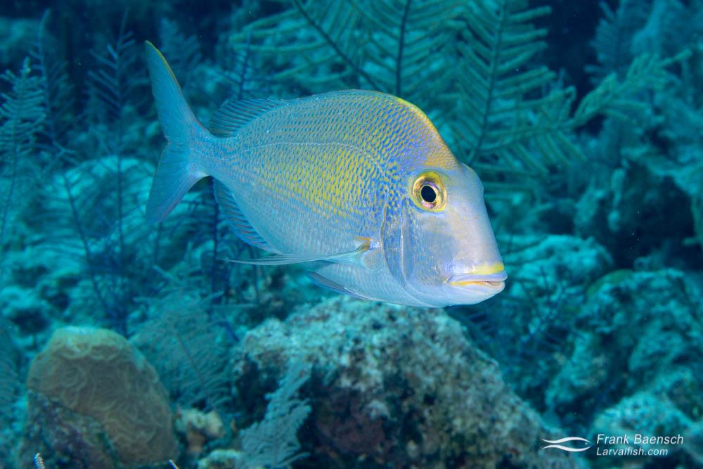 Pluma porgy (Calamus pennatula) on a reef in the Bahamas.