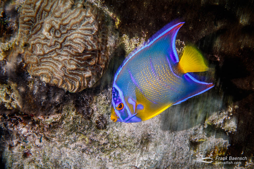 Queen angelfish (Holacanthus ciliaris) sub-adult on a shallow reef in the Bahamas.