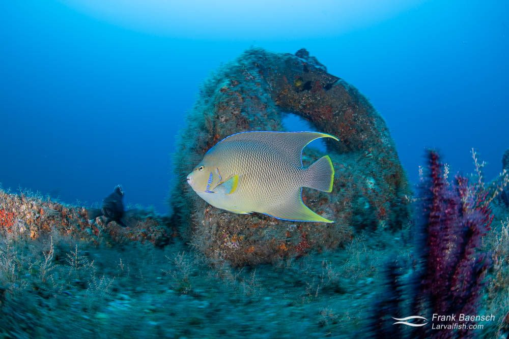 Blue angelfish (Holacanthus bermudensis) on a wreck in North Carolina.
