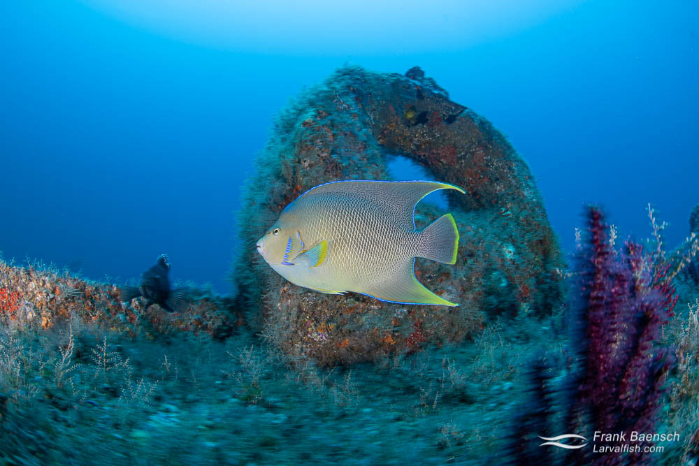 Blue angelfish  on a wreck in North Carolina.
