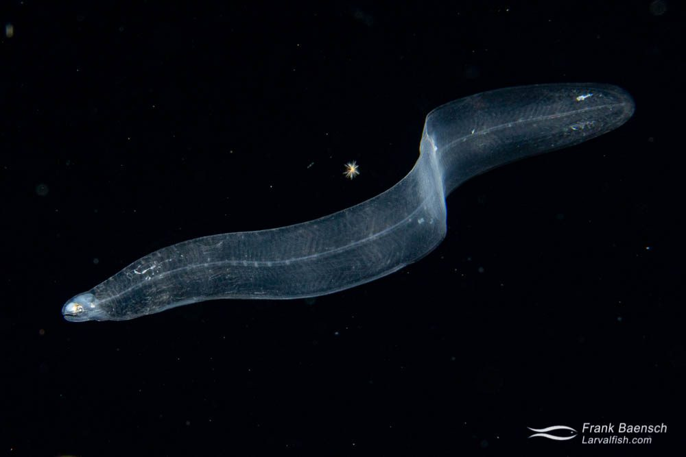 """Eel larva (leptocephalus) (about 3"""") near the ocean surface at night off Oahu."""