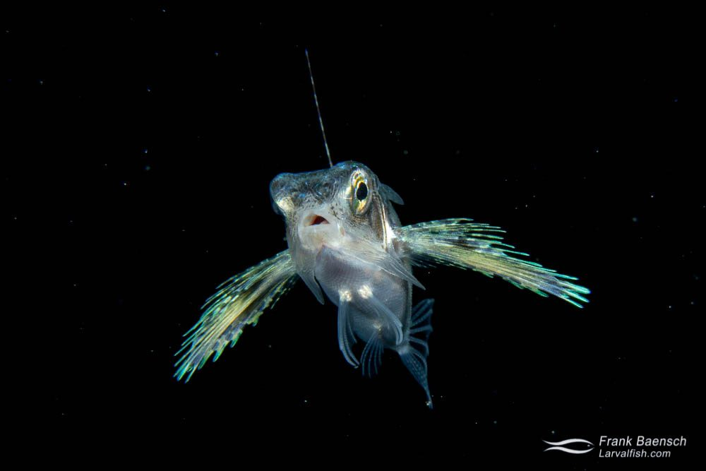 """Flying gurnard larva (Dactylopterus volitans) (about 3"""") on  a blackwater dive off Oahu."""