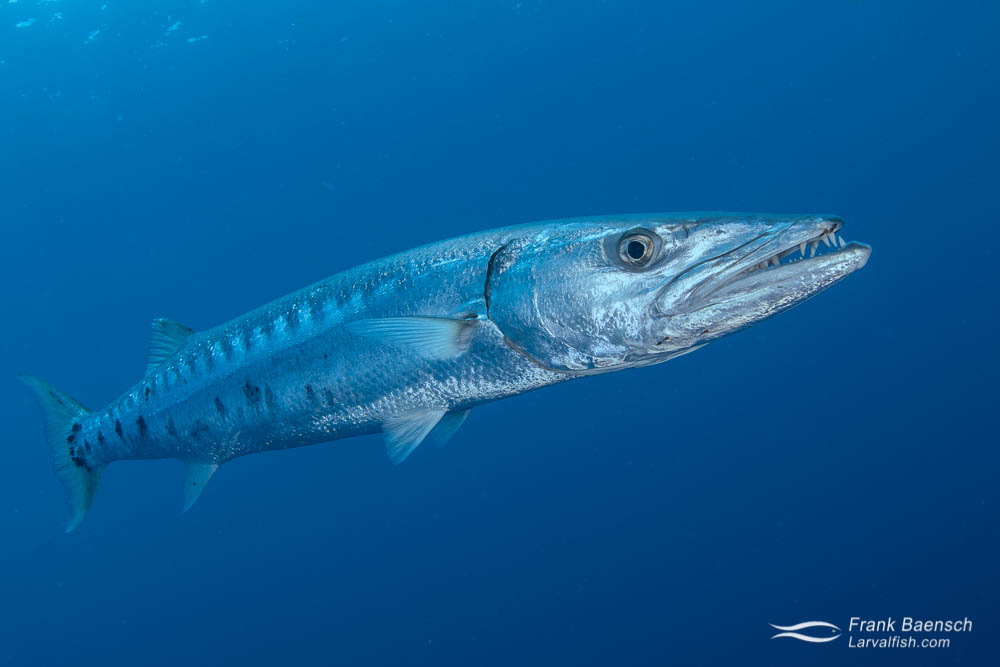 Great barracuda in blue open ocean  water