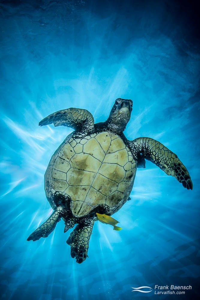 Green sea turtle blocks the sun after surfacing in waters off Kona, Hawaii.