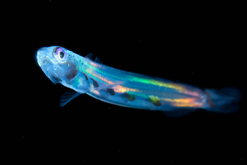 Lizardfish larva exhibiting iridescence at night in the open ocean
