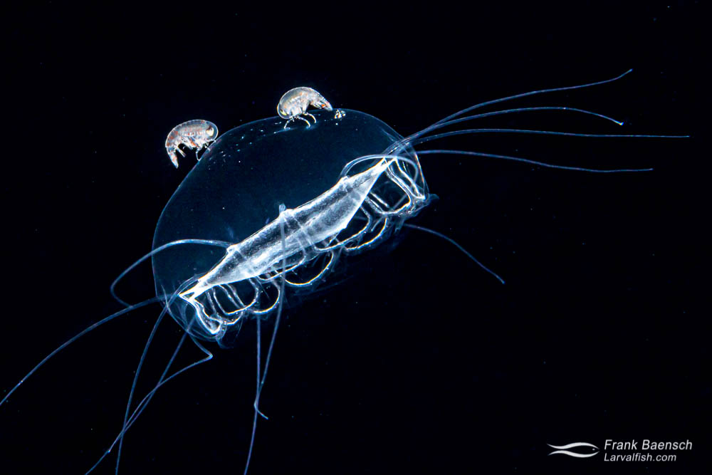 Hyperiid amphipods riding a jellyfish in the open ocean at night.
