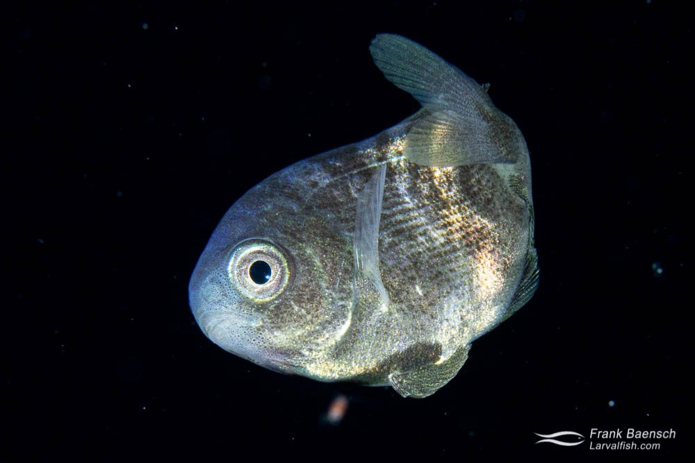"""Juvenile freckled driftfish (about 2"""") at night found next to a broken plastic jug."""