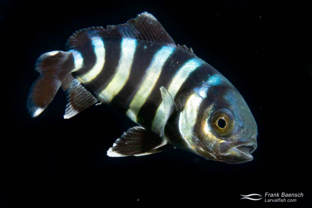Juvenile pilotfish in the open ocean at night