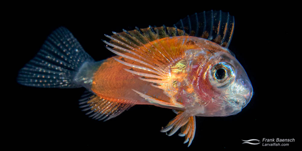 Leopard blenny larva near the ocean surface of  the pelagic zone at night.