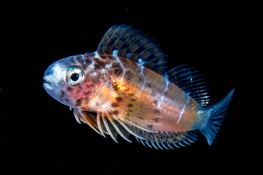 Leopard blenny larva at night in the open ocean.