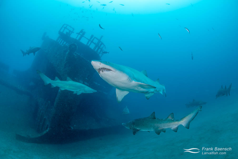 Multiple sand tiger sharks swimming around a wreck in blue water