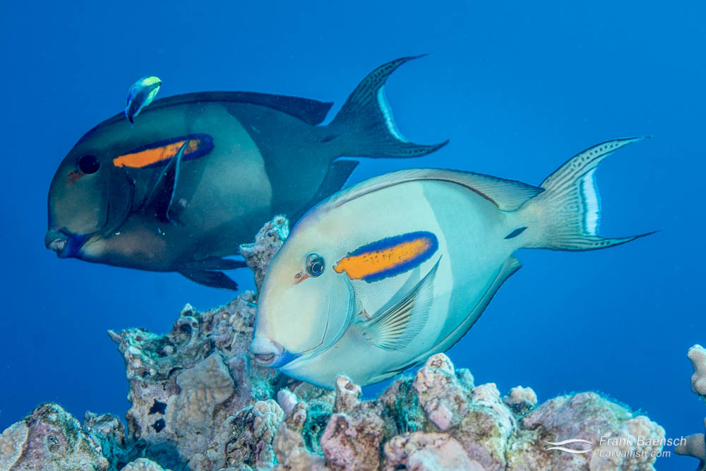 Two adult orangeband surgeonfishes dislaying dark and olive color phase