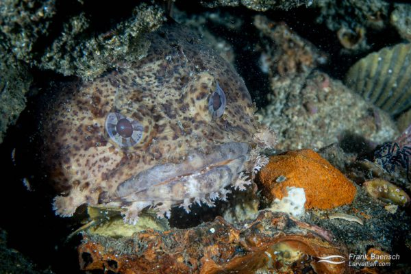 """Oyster toadfish peers out of crevice on a wreck in North Carolina. Male toadfish make a distinctive """"foghorn"""" sound  to attract females in the mating season, which is April–October. My first toadfish encounter underwater!"""