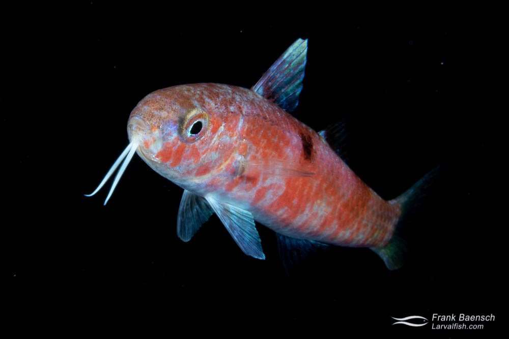 Pelagic juvenile goatfish in the open ocean at night.