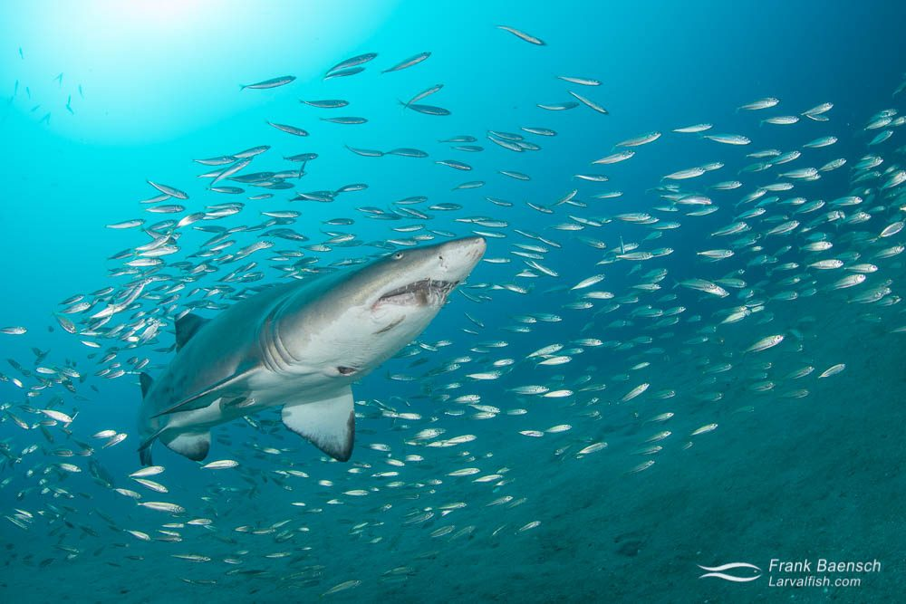 Sand tiger shark (Eugomphodus taurus) surrounded by bait fish in North Carolina.
