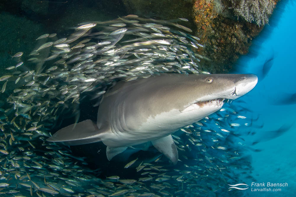 Up close motion blur of sand tiger shark surrounded by bait fish