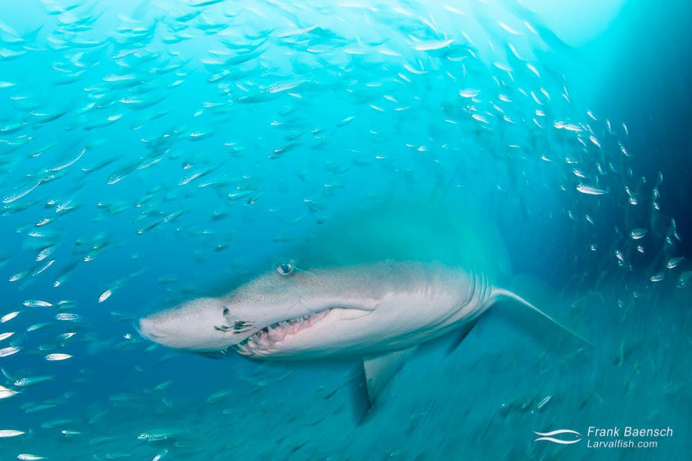 Up close motion blur of sand tiger shark