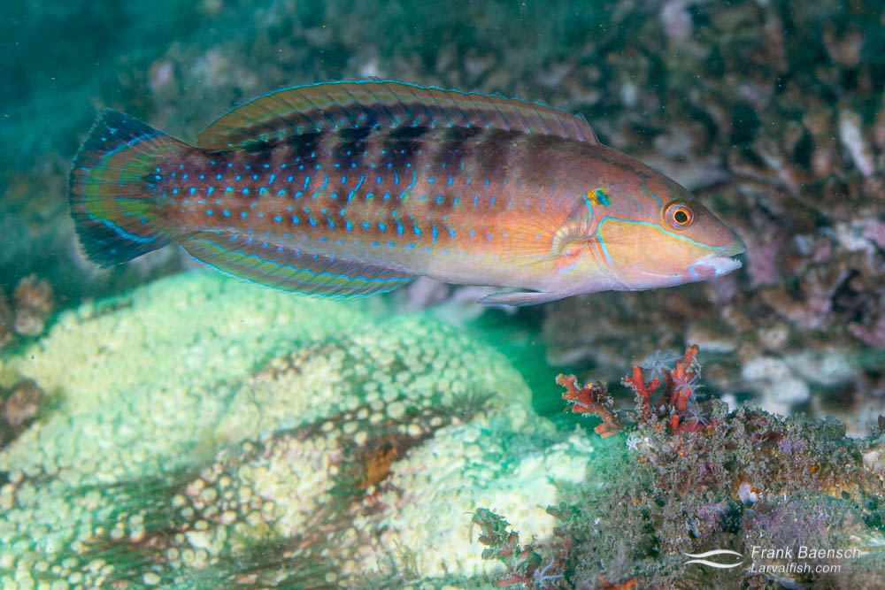 Slippery dick initial phase male