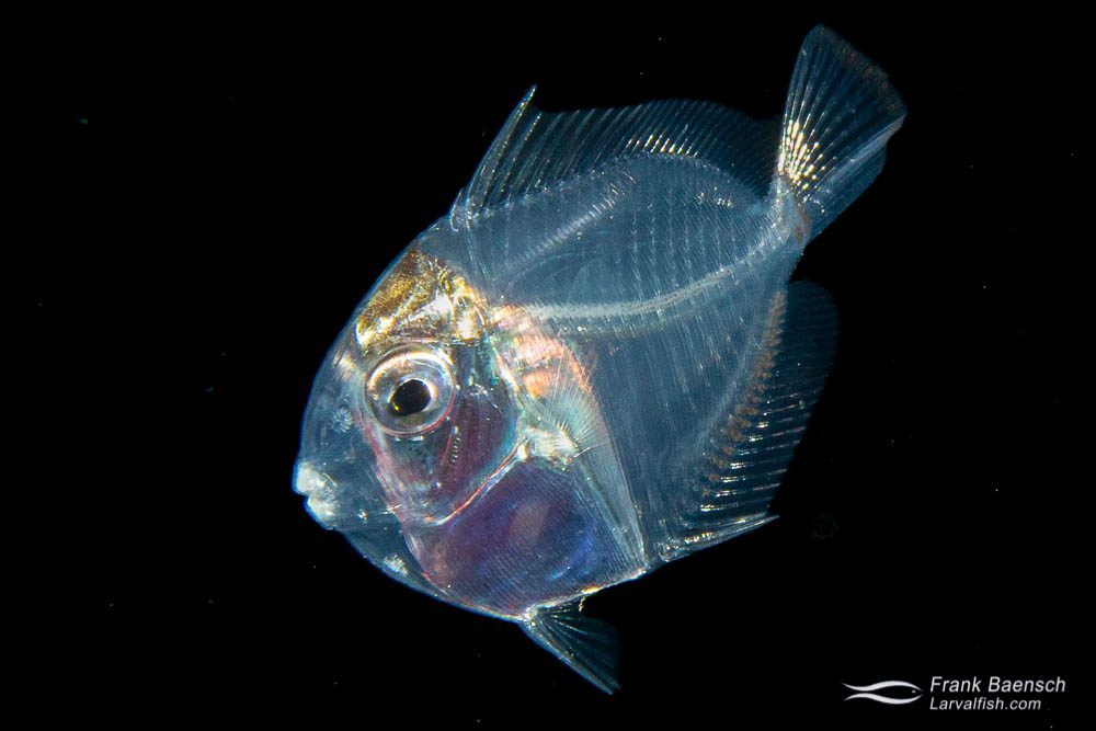 Late stage surgeonfish larva at night in the ocean.