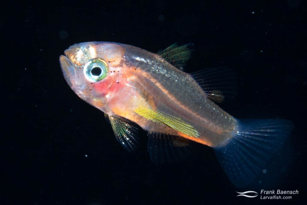 Larval waikiki cardinalfish (Apogonichthys perdix) on a blackwater dive off Oahu