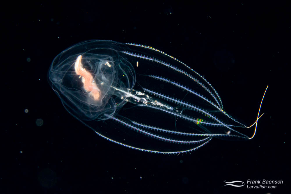 Ctenophore feeding on a bristle worm near the ocean surface of  the pelagic zone at night.