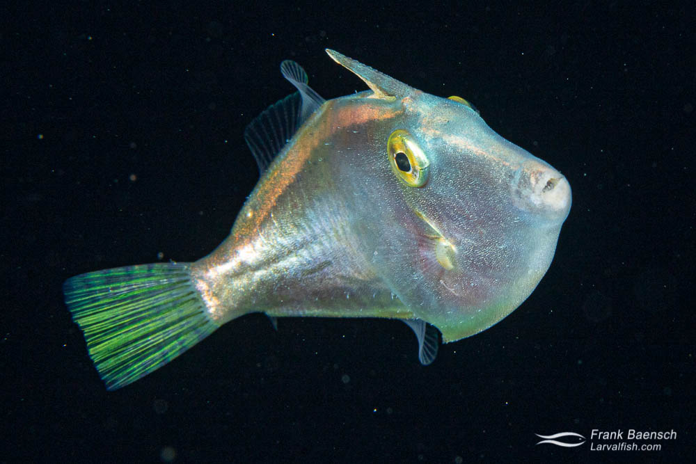 "Pelagic juvenile filefish (about 2"") in the open ocean at night."