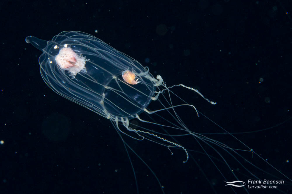 Hydromedusa parasitized by a hyperiid  amphipod in the open ocean at night