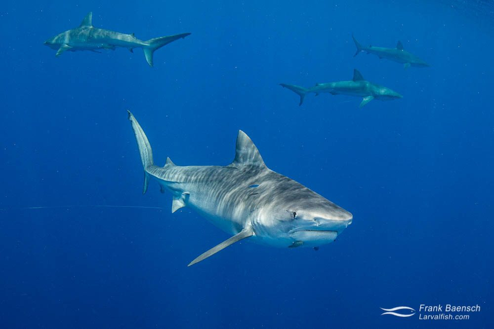 Tiger shark and galapagos sharks in the open ocean