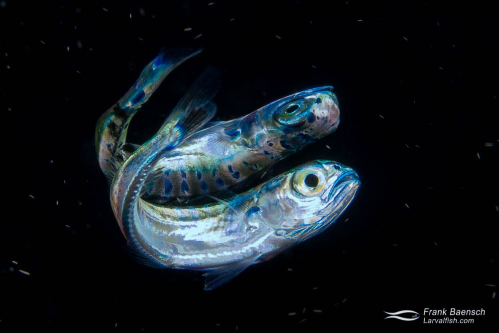 Mahi mahi larva (Coryphaena hippurus) reflects off the surface on a blackwater dive off Oahu.