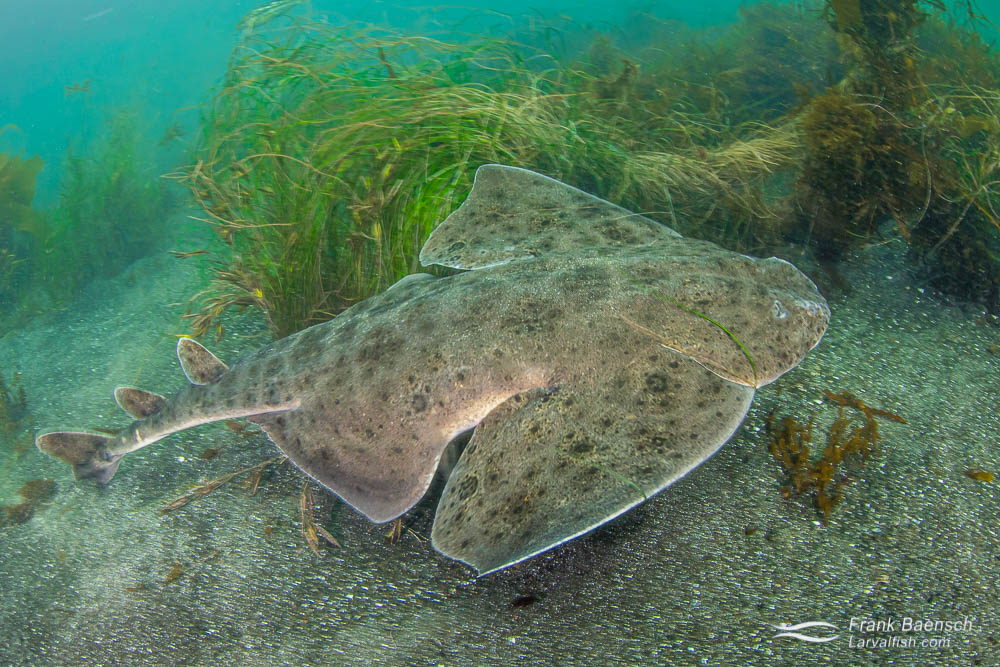 Angelshark swims across sand and seaweed bottom