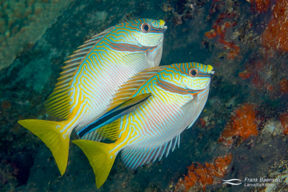 A cleaner wrasse tends to a pair of barred rabbitfish (Siganus doliatus). Rabbitfishes and parrofishes feed on the abundance of macrolgae that grows on the shallow wrecks in Truk Lagoon.