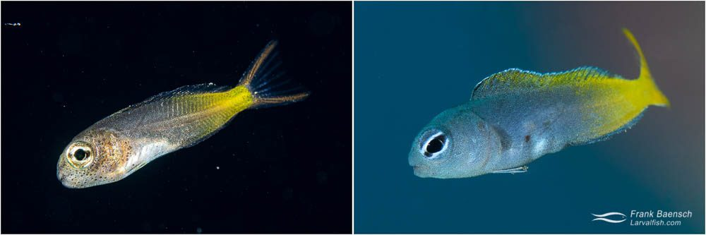 Bicolor combtooth blenny (Ecsenius bicolor) - the most common combtooth blenny on the wrecks in Truk Lagoon. E. bicolor larva (left) and juvenile (right).