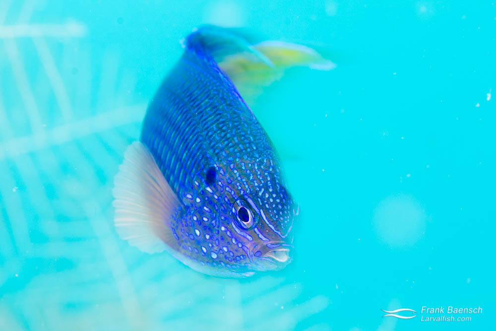 Blue damselfish swims in slow motion