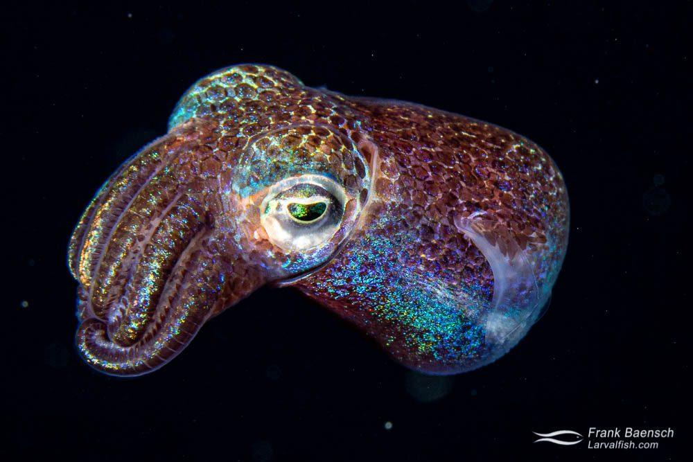 A bobtail squid near the surface at night in Truk Lagoon.