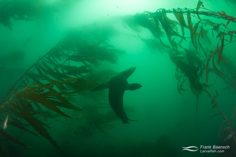 California sea lion swims in kelp forest