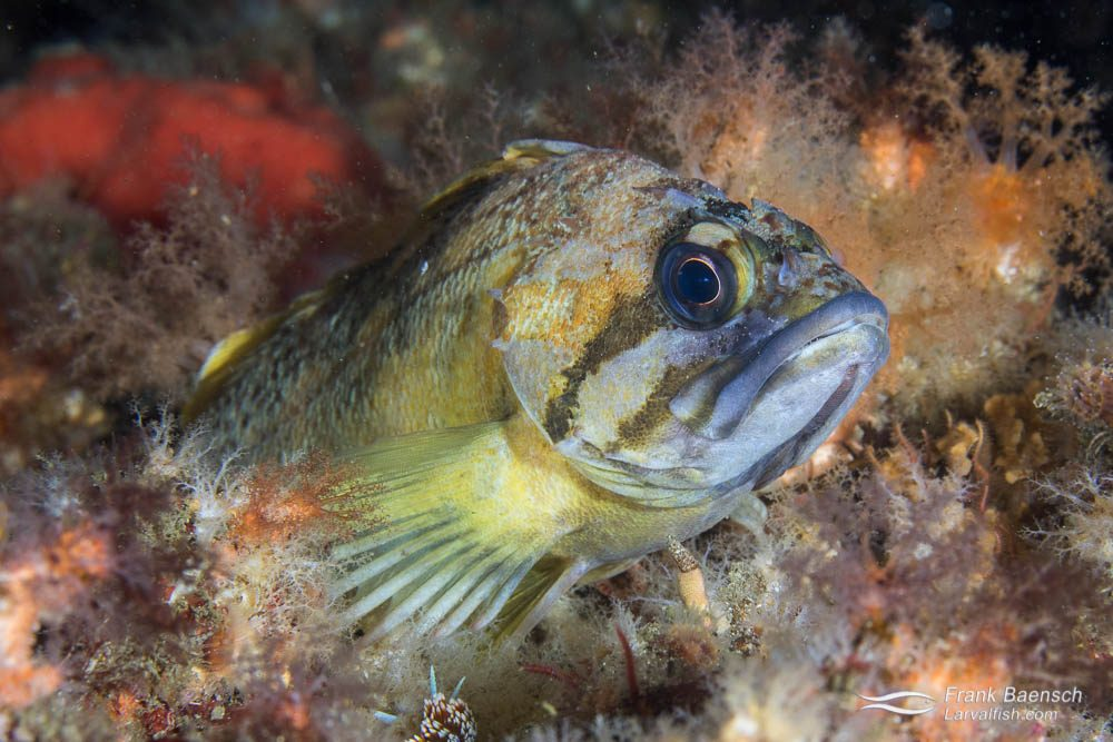 Copper rockfish (Sebastes caurinus). Rockfishes belong to the famly Sebastidae, which are closely related to scorpionfishes.