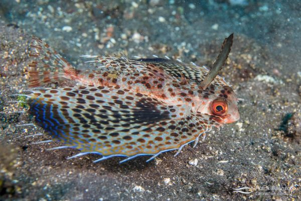 Fllying gurnard (Dactyloptena orientalis). Indonesia.