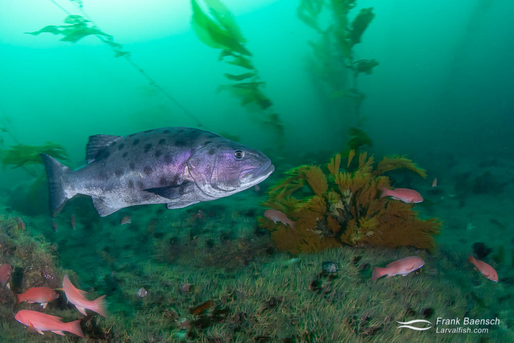 Giant sea bass on a deep kelp forest reef
