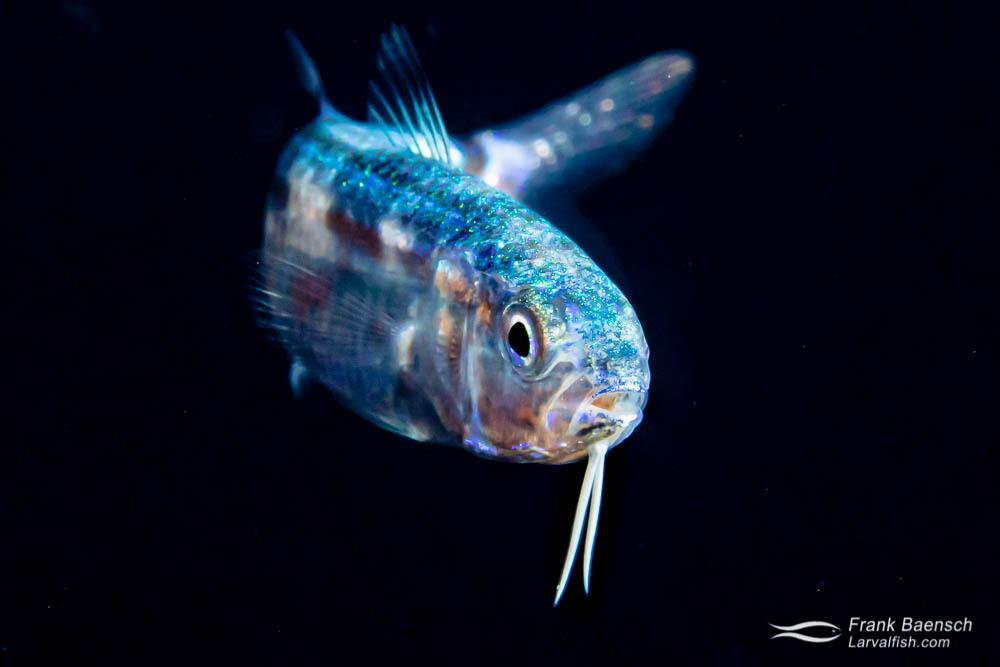 Goatfish larva near the surface at night  in Truk Lagoon.