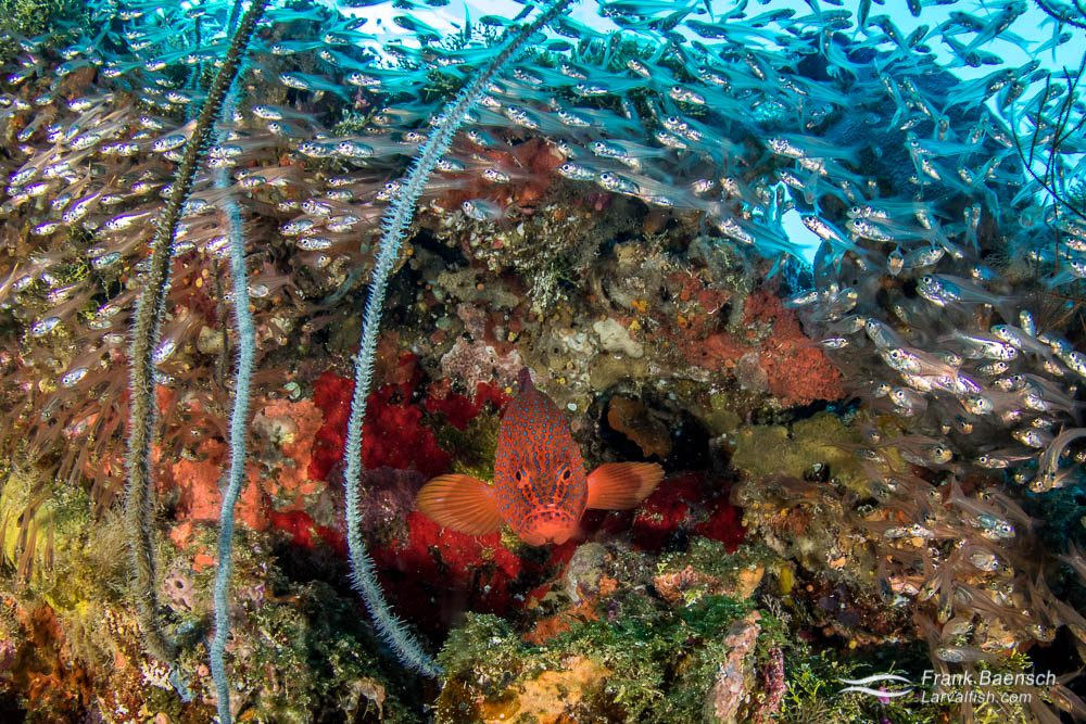A coral grouper (Cephalopholis miniata) surrounded by slender cardinalfish (Rhabdamia gracilis) peers out of a crevice in Truk Lagoon.