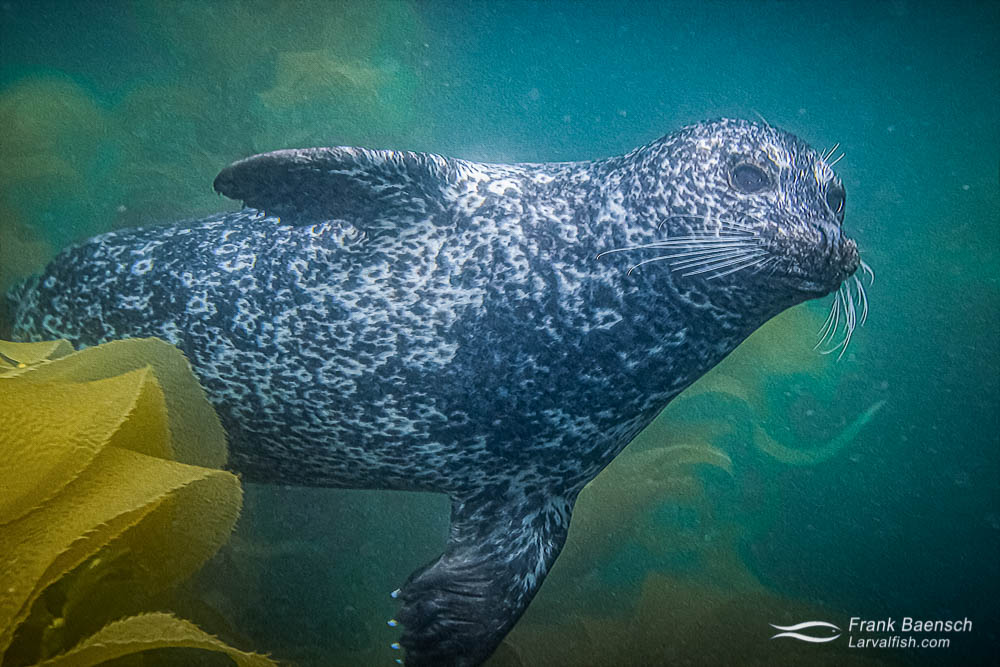 A curious harbor seal (Phoca vitulina) swims out from the kelp forest.